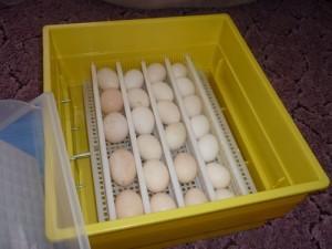 Как вывести цыплят в инкубаторе в домашних условиях 72