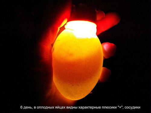 proverit-yajca_2