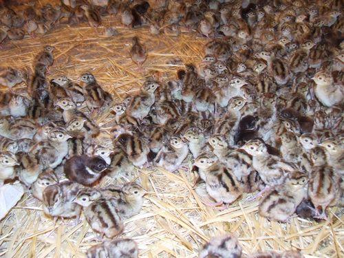 razvedenie-fazanov-inkubator_5