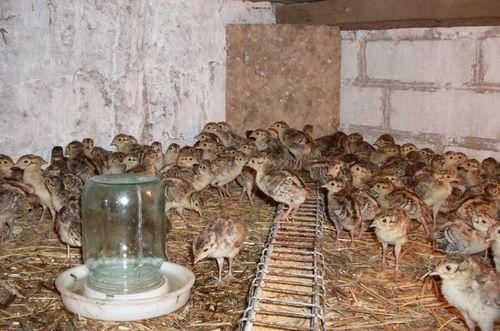 razvedenie-fazanov-inkubator_6