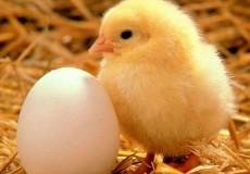 цыпленок и яйцо