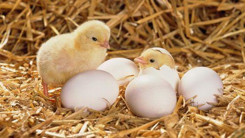 Инструкция Выведения Цыплят Инкубатором