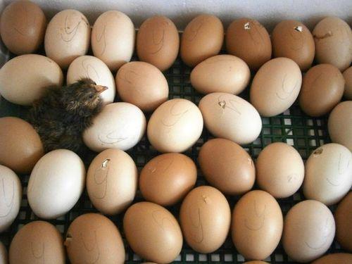 выведение цыплят в инкубаторе в домашних условиях видео инструкция - фото 4