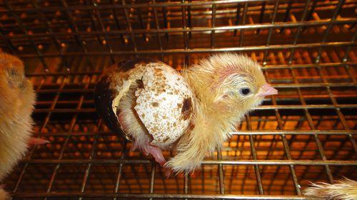 Цыплята инкубатор уход за