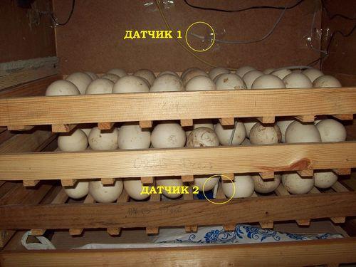 zakladka-yaic-v-inkubator_6