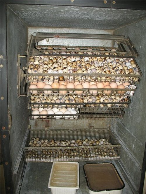 Инкубатор для куриных яиц своими руками видео