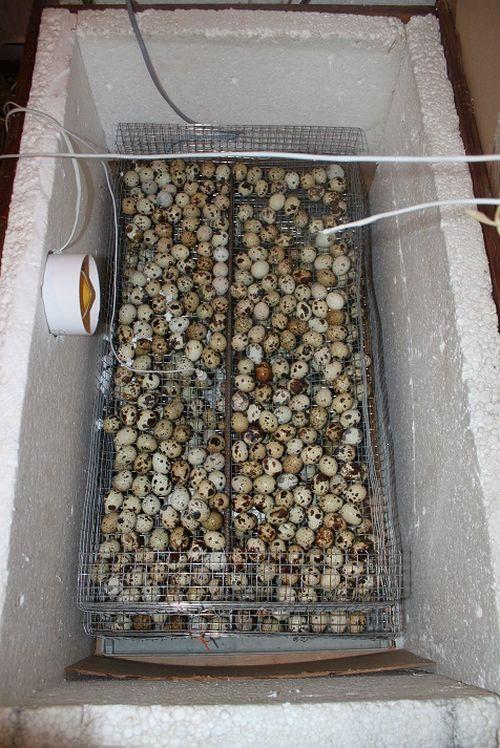 inkubator-dlya-perepelok_7