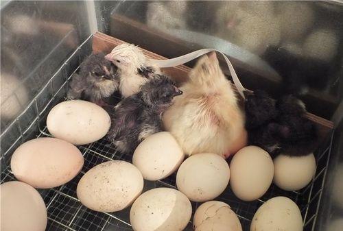 inkubator-ipx-10-petushok_1