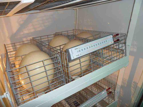 inkubator-dlya-strausov_5