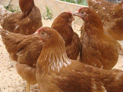 мясо-яичные породы кур