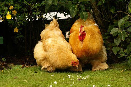 Курицы породы кохинхин