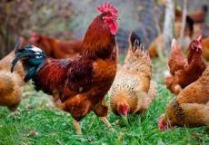 Курицы яичных пород