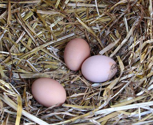 Как кормить курей чтобы несли много яиц