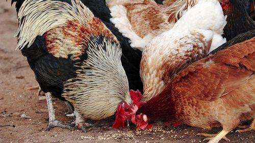Чем кормить кур для яйценоскости