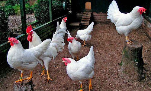 Нормы кормления кур