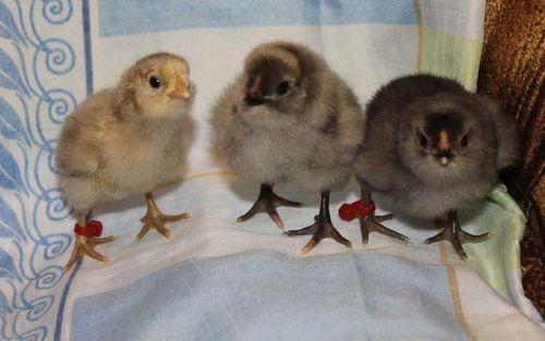 Цыплята Араукана