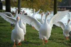 Нормы кормления гусей в разных условиях
