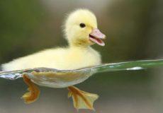 Плавающий гусенок