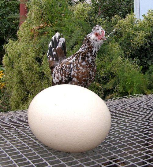 Муляж яйца