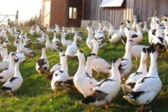 Правила разведения утки породы Мулард
