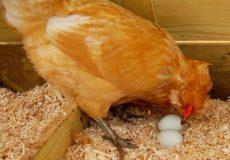 Клевание яиц