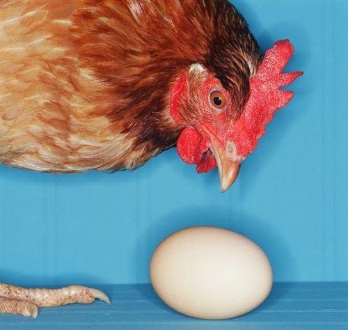 Курица расклевывает яйца