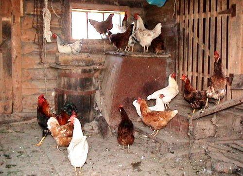 Правила и условия содержания кур-несушек дома