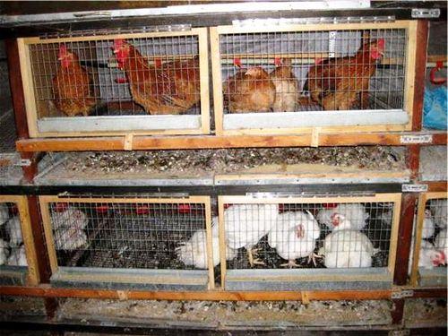 Клетки для кур несушек в домашних условия