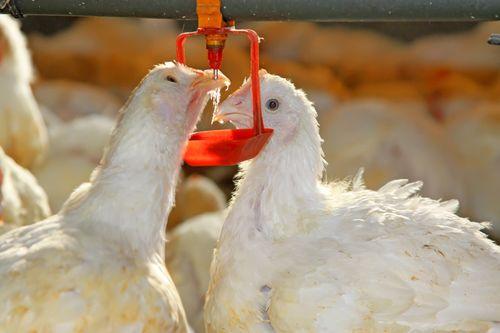 Курица пьет воду из поилки