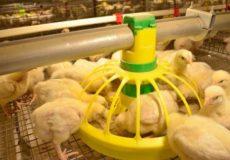 Кормление цыплят