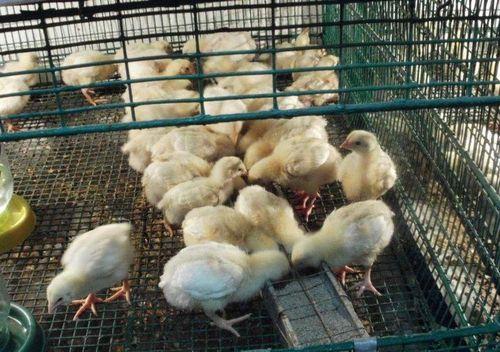 Цыплята Росс-708