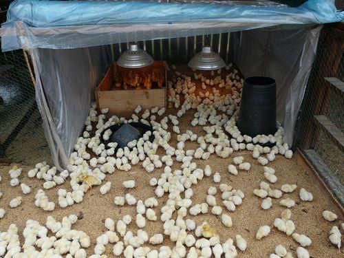 Где купить цыплят бройлеров в карелии