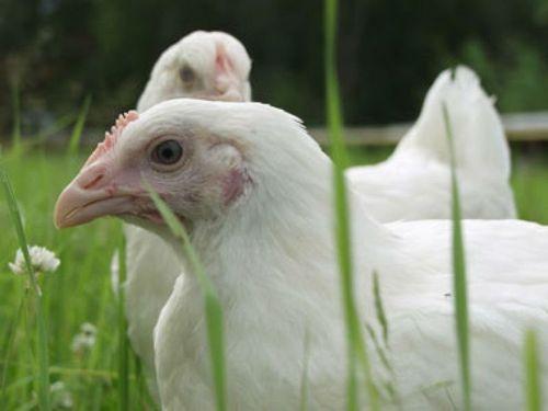 Основные моменты выращивания цыплят бройлеров на мясо
