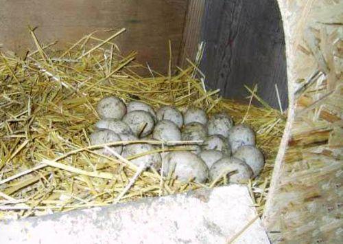 Яйца башкирских уток