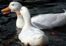 Пекинские утки в озере