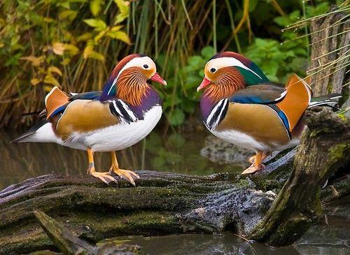 Самец и Самка утки Мандаринки