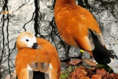 Описание породы и гнездование уток Огарь