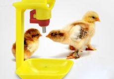 Птенцы пьют воду из поилок