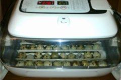 Особенности инкубации перепелиных яиц