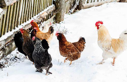Разведение кур в зимний период