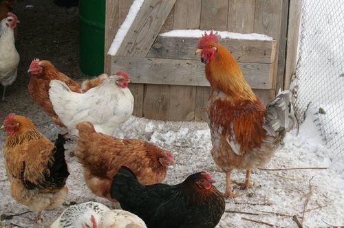 Особенности содержания кур зимой в домашних условиях