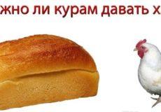 Хлеб курам - можно или нет?