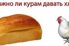 Можно ли кормить кур хлебом, и каким