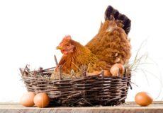 Курица с яичками