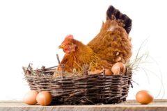 Эффективные методы увеличения яйценоскости