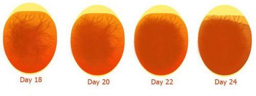 Всё про овоскопирование яиц по дням