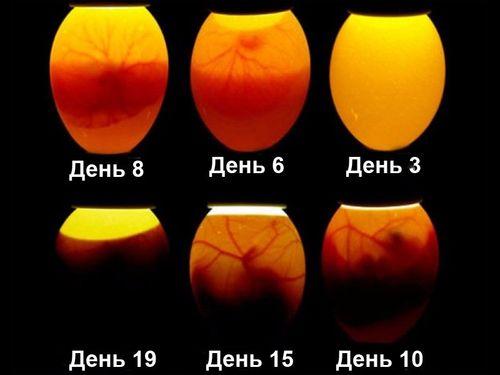 Просвеченные яйца