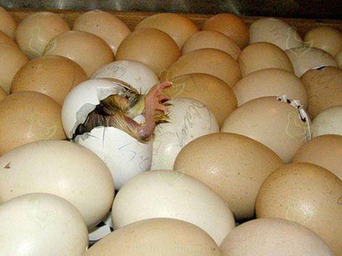 Яйца с цыплятами