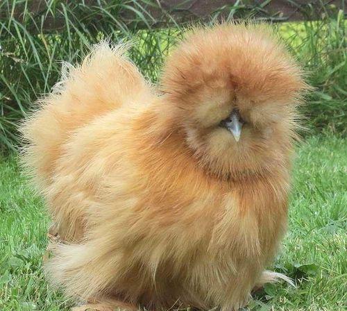 Свойства и особенности породы курчавых кур