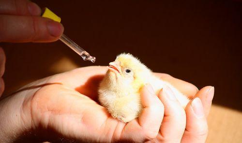 Отпаивание цыпленка